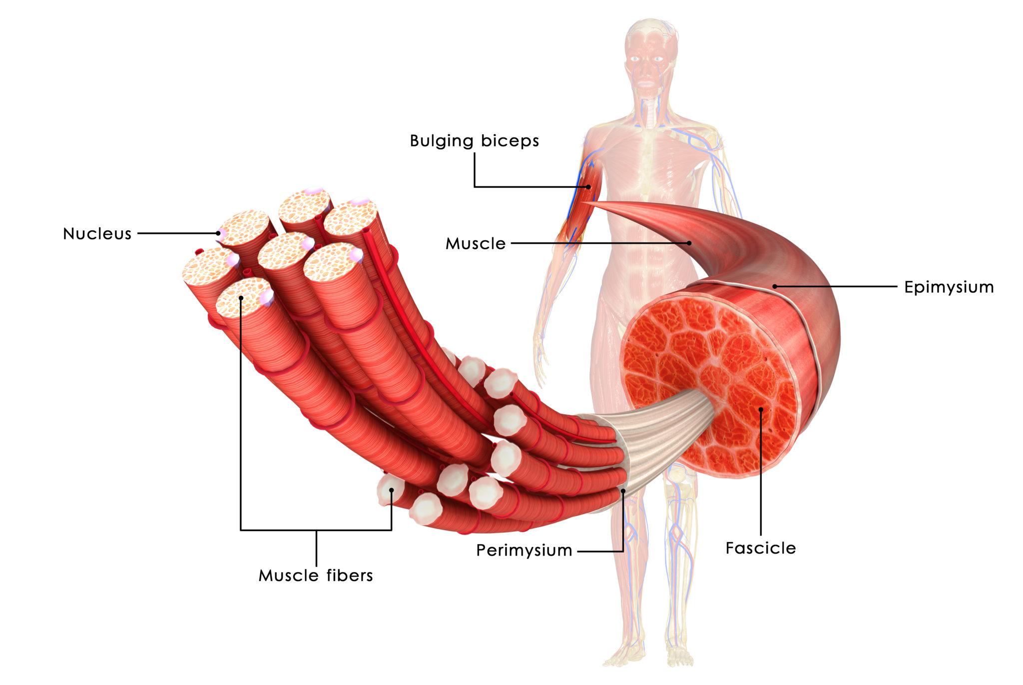 Muskel, Muskelbauch. Muskelfaser, Muskelfibrille